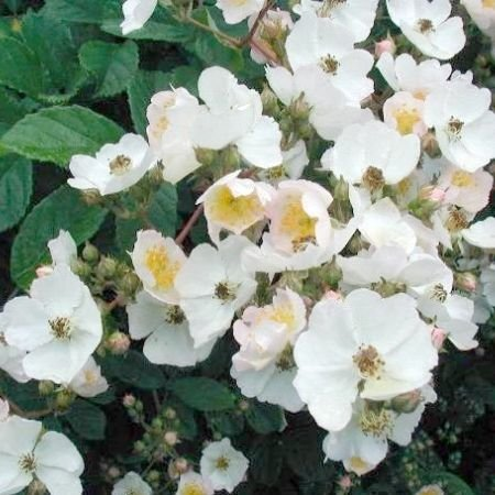 Photos of the flowers of the Japanese wild rose