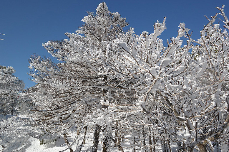 Snow-covered trees in Mount Hallasan, Jeju Island, one of the best winter destinations in Asia