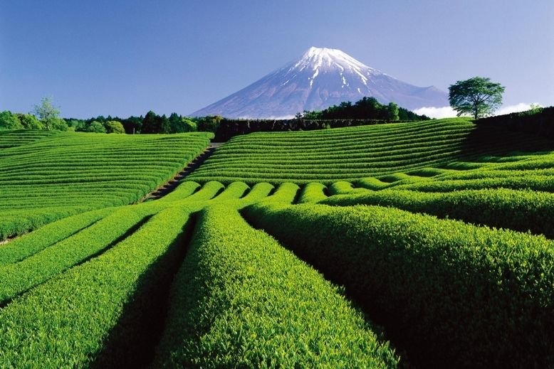 A view of Mt. Fuji from a tea plantation