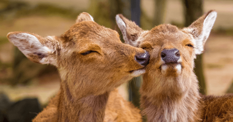 Ethical Animal Experiences In Asia - Feeding deers at Nara Park